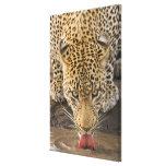Leopardo que bebe, mayor parque nacional de Kruger Lona Estirada Galerias