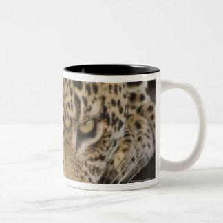 Leopardo que bebe, mayor parque nacional de Kruger Taza