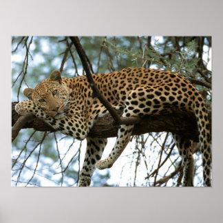 Leopardo que descansa en árbol poster