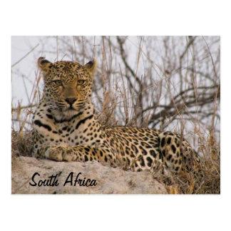 Leopardo que descansa sobre un montón postal