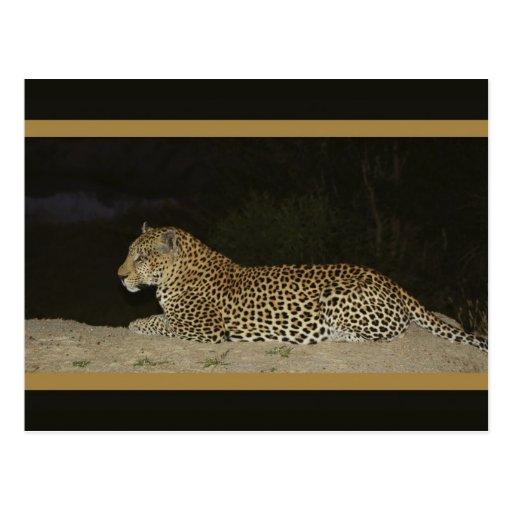 Leopardo que miente en las postales de la fauna de