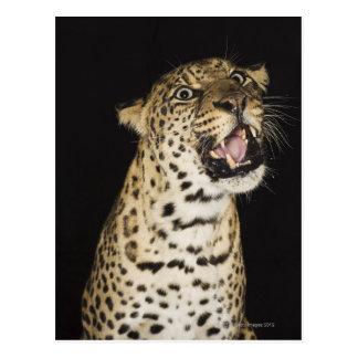 Leopardo que ruge tarjetas postales