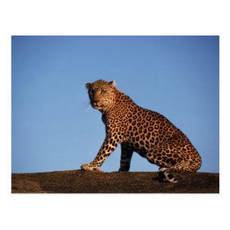 Leopardo solitario postal