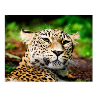 Leopardo Tarjeta Postal