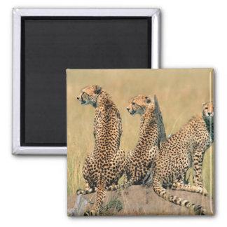 Leopardos que miran lejos imán cuadrado