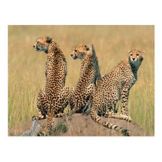 Leopards looking away postcard