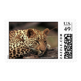 Leopards Stamps