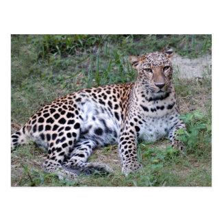 LeopardSundari_002 Postcard
