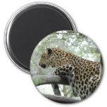 LeopardSundari_003 Imán De Frigorifico