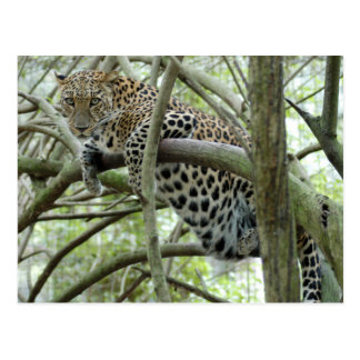 LeopardSundari_005 Post Card