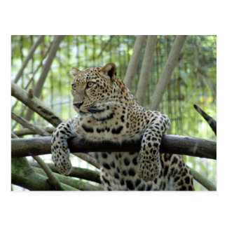 LeopardSundari_007 Postcard