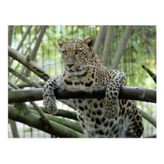 LeopardSundari_008 Postcard