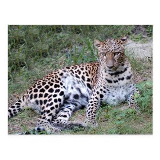 LeopardSundari_009 Postcard