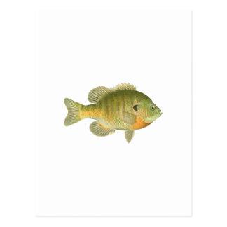 Lepomis macrochirus femenino - brema - Sunfish Postales