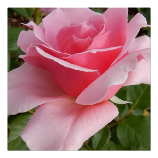 Les Sjulin Hybrid Tea Rose Photo Square Poster