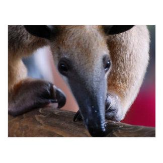 Lesser Anteater  Postards Postcard