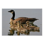 Lesser Canada Goose Brood Poster
