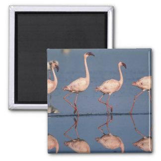 Lesser Flamingo, (Phoenicopterus minor), Magnet