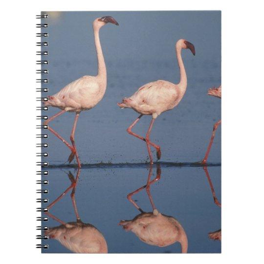 Lesser Flamingo, (Phoenicopterus minor), Notebook