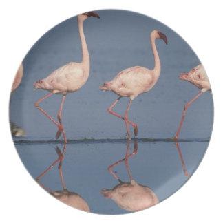 Lesser Flamingo, (Phoenicopterus minor), Plates