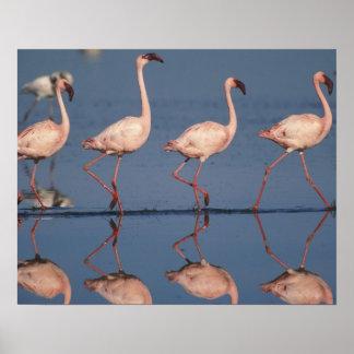 Lesser Flamingo, (Phoenicopterus minor), Poster