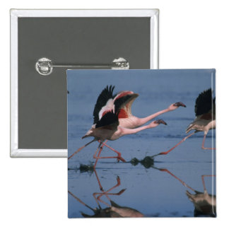 Lesser Flamingo, (Phoenicopterus minor), taking Button