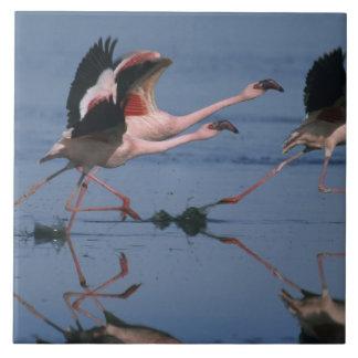Lesser Flamingo, (Phoenicopterus minor), taking Ceramic Tile