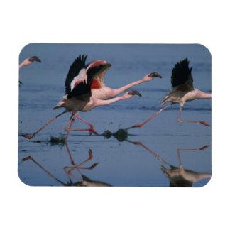 Lesser Flamingo, (Phoenicopterus minor), taking Magnet