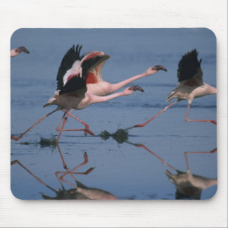 Lesser Flamingo, (Phoenicopterus minor), taking Mouse Pads