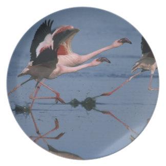 Lesser Flamingo, (Phoenicopterus minor), taking Party Plates