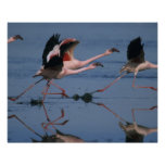 Lesser Flamingo, (Phoenicopterus minor), taking Poster
