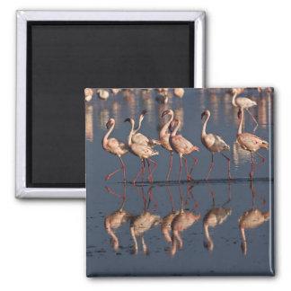 Lesser Flamingos displaying, Lake Nakuru Magnet