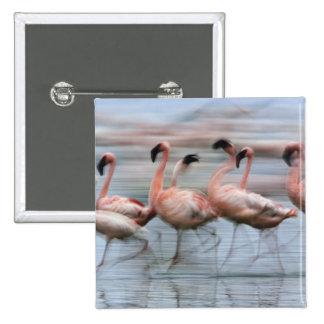 Lesser Flamingos in motion, Phoenicopterus 2 Inch Square Button