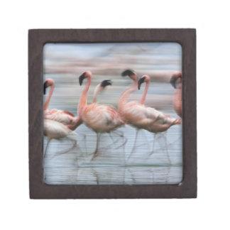 Lesser Flamingos in motion, Phoenicopterus Gift Box