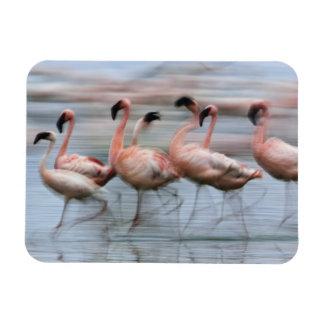 Lesser Flamingos in motion, Phoenicopterus Magnet