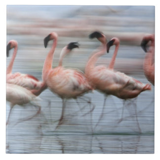 Lesser Flamingos in motion, Phoenicopterus Tile