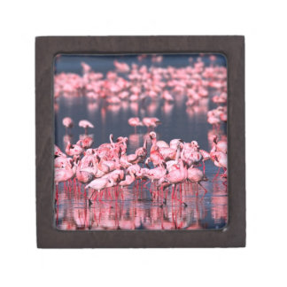 Lesser Flamingos (Phoeniconaias minor), Africa, Gift Box