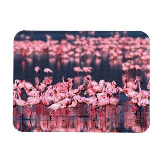 Lesser Flamingos (Phoeniconaias minor), Africa, Magnet