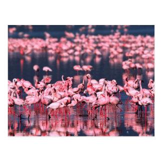 Lesser Flamingos (Phoeniconaias minor), Africa, Postcard