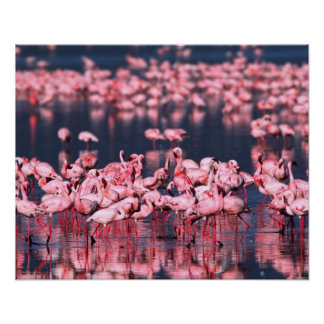Lesser Flamingos (Phoeniconaias minor), Africa, Poster