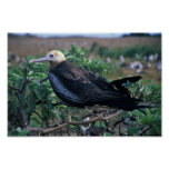 Lesser frigatebird perching on branch poster