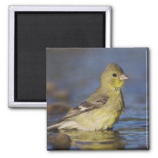 Lesser Goldfinch, Carduelis psaltria, female 2 Inch Square Magnet