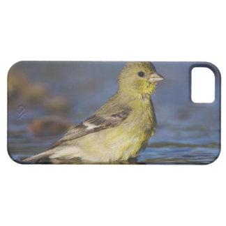 Lesser Goldfinch, Carduelis psaltria, female iPhone SE/5/5s Case