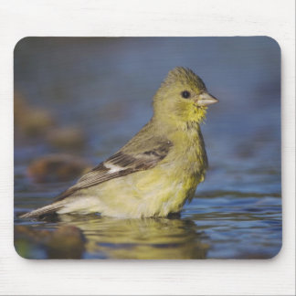 Lesser Goldfinch, Carduelis psaltria, female Mouse Pad