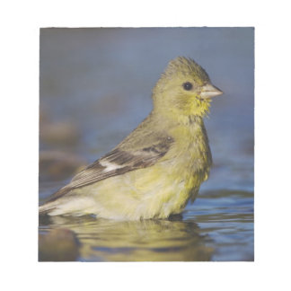 Lesser Goldfinch, Carduelis psaltria, female Notepad