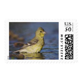 Lesser Goldfinch, Carduelis psaltria, female Postage