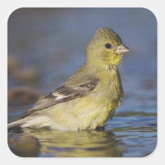 Lesser Goldfinch, Carduelis psaltria, female Square Sticker