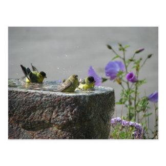Lesser Goldfinches in Birdbath Postcard