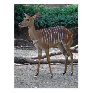 Lesser Kudu Postcard