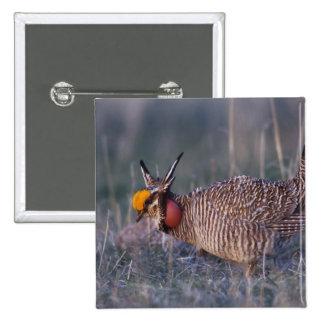 Lesser Prairie-Chicken, Tympanuchus Pin